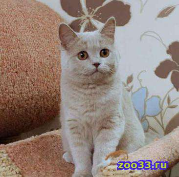Лиловая британская кошечка - Фото 1