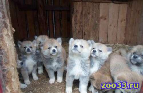 Продаём щенков, порода Японская Акита-Ину, родословная Р. К. Ф., возможна рассрочка на 3-4 месяца. - Фото 1