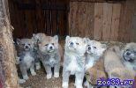 Продаём щенков, порода Японская Акита-Ину, родословная Р. К. Ф., возможна рассрочка на 3-4 месяца.
