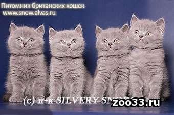 Купить голубого британского котенка. - Фото 1