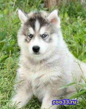 Сибирский Хаски, щенков с отличной родословной РКФ - Фото 1