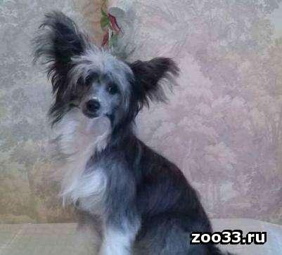 Продается шикарный подрощенный пуховый щенок китайской хохлатой собаки. Отличная родословная. Не крупный, замечательная анатомия, ушки... - Фото 1