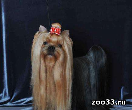 Предлагаются к продаже очень красивые щенки Йоркширского терьера. Родословная, клеймо, прививки. От очень достойных родителей. В... - Фото 1