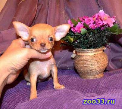 Продам щенков породы чихуа-хуа. 2 мес. Очень красивый окрас: кремовый, рыжий, изабелла. Короткие мордочки. Тип кобби. мини и мелкий... - Фото 1