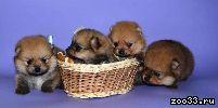 Продам щенков породы карликовый померанский шпиц. Возраст 2 мес. Родословная, клеймо, привиты. Окрасы оранжевый, соболиный, чёрный. Цена...