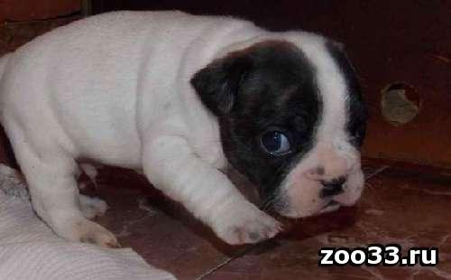 Продаются щенки французкого бульдога очаровательные малыши Возраст 1 месяц уже кушают сами . Упитанные хорошо выращенные малыши. От... - Фото 1