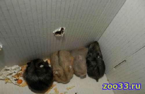 Джунгарских хомячков в добрые руки - Фото 1
