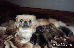 Пекинеса щенки, мальчик и девочка, рожденные 23 августа, без родословной, продаю