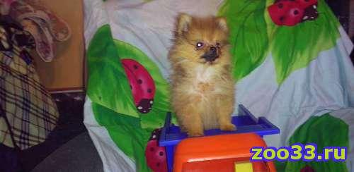Продается щенок померанского шпица (мини девочка - Фото 1