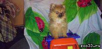 Продается щенок померанского шпица (мини девочка