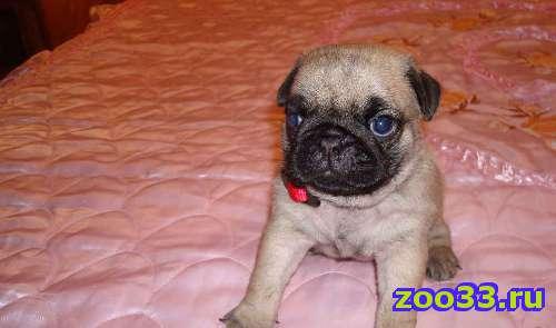 Продажа очаровательных щенков мопса - Фото 1