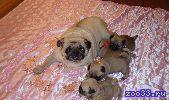 Продажа очаровательных щенков мопса