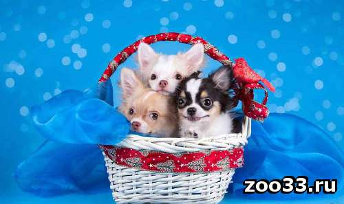 Чихуахуа щенки продаются - Фото 1