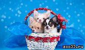 Чихуахуа щенки продаются