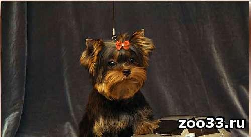 Очень красивые щенки йоркширского терьера РКФ - Фото 1