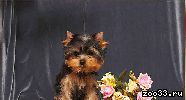 Очень красивые щенки йоркширского терьера РКФ
