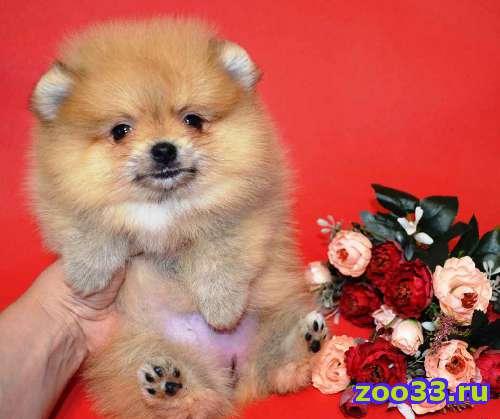 Продам щенков померанского шпица - Фото 1