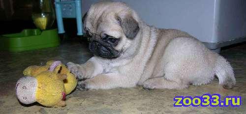 продам щенка мопса - Фото 1