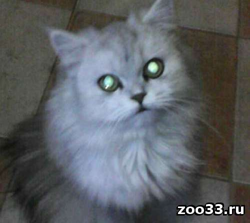 Продаю персидских котят,окрас шиншилла, цена4000р - Фото 1