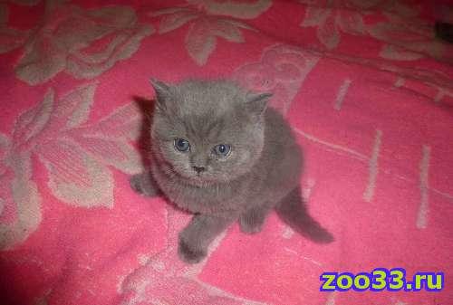 Британские котятки - Фото 1