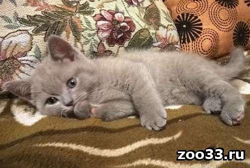 Продам британских котят - Фото 1