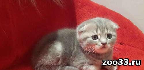 Котенок ШОУ класса - Фото 1