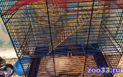 Продам крысу - Фото 1