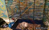 Продам крысу