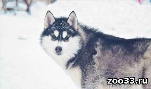 Шикарные черно - белые щенки Хаски - Фото 1