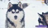 Шикарные черно - белые щенки Хаски