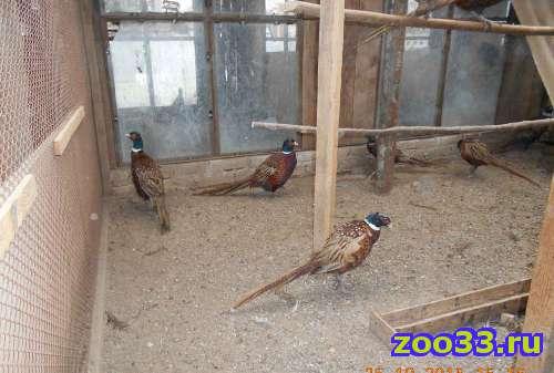 продам фазанов - Фото 1