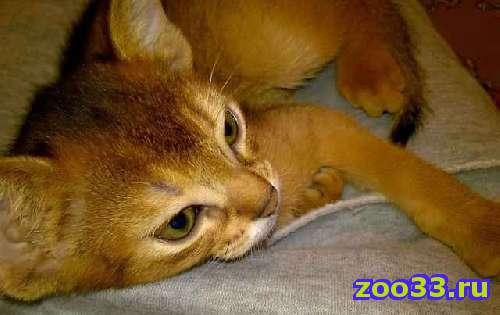 Абиссинский котенок - Фото 1