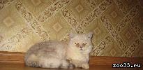 Отдам кота Экзота