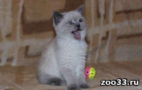 Шотландские котята от родителей Чемпионов - Фото 1