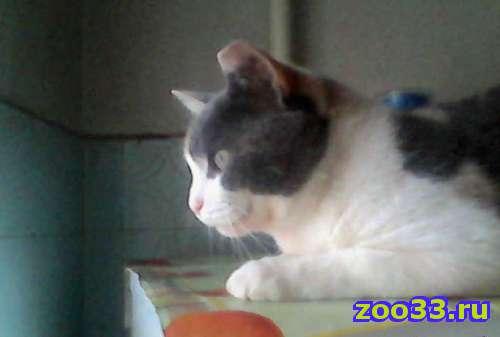 Метис британской кошки - Фото 1