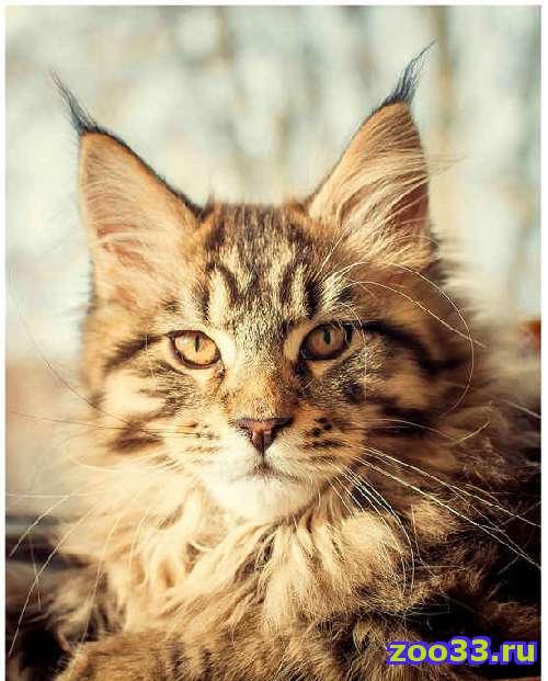 Котенок Мейн Кун - Фото 1