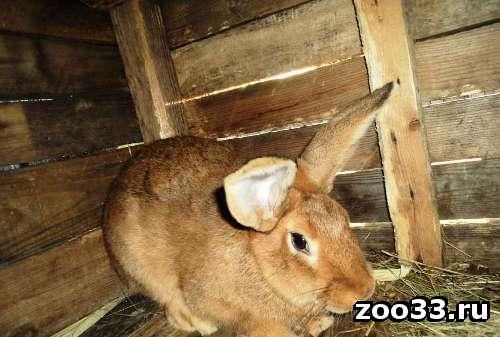 Кролики мясной породы - Фото 1