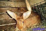 Кролики мясной породы