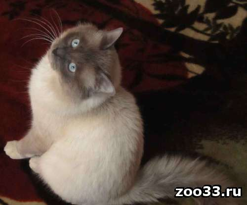 Титулованный кот ищет подружку - Фото 1