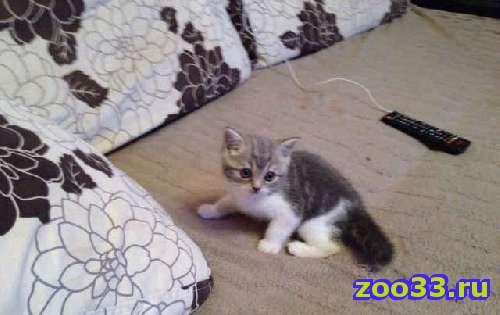 Шотландские котята - Фото 1