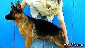 Подростки Немецкой овчарки