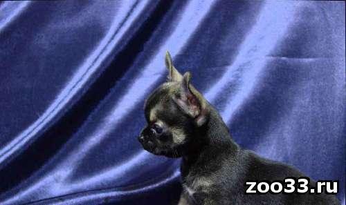 Продаются щенки маленькие, добренькие, приученные к пеленке. чихуахуа - Фото 1