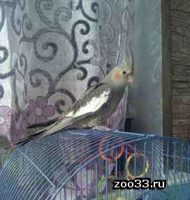 попугай корелла - Фото 1