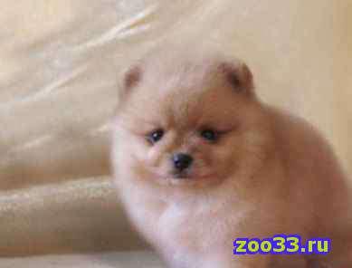 Продам щеночков шпица недорого - Фото 1