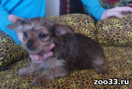 продам щенка Йоркширский терьер - Фото 1