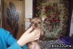 продам щенка Йоркширский терьер