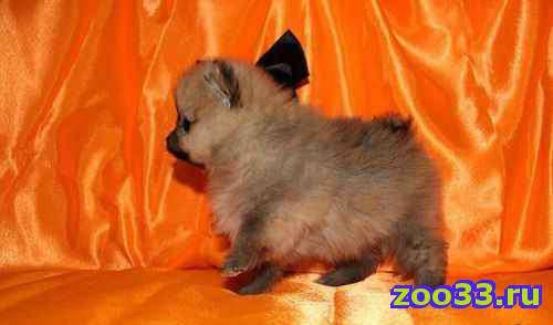 Померанские шпицы-щеночки на подбор - Фото 1