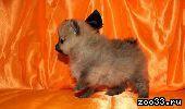 Померанские шпицы-щеночки на подбор