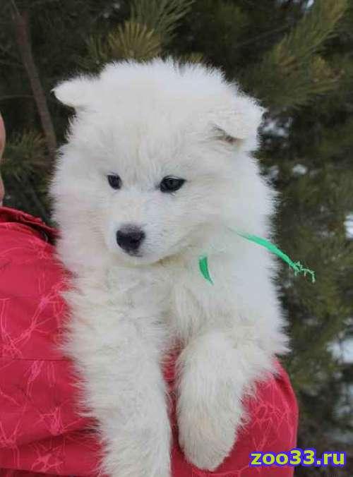 Щенки Самоедской лайки ( Самоедская собака - Фото 1