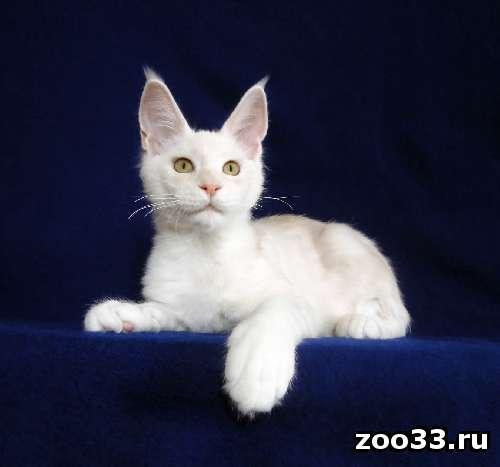 Котята мейн-кун из питомника - Фото 1